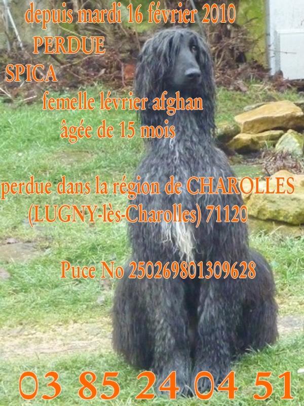 PERDUE  SPICA afghan femelle de 15 mois (71120 Charolles) 100225093827581255517951