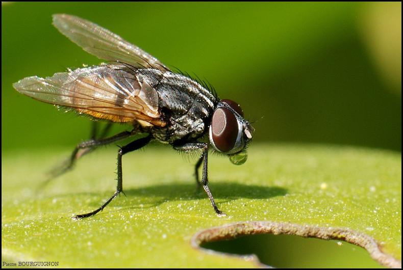 mouches de la famille muscidae photographies animali res par pierre bourguignon photographe. Black Bedroom Furniture Sets. Home Design Ideas
