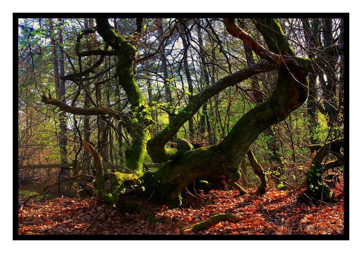 Faux : les arbres tortueux 100515065920265786037797