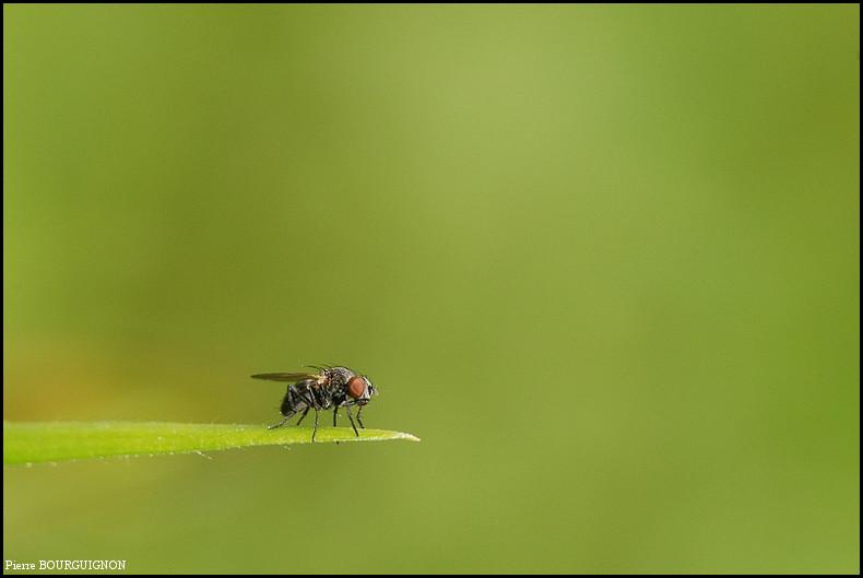 Mouche domestique (musca domestica), photographies animalières par Pierre BOURGUIGNON, photographe animalier, Belgique