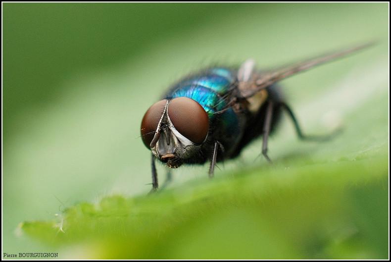Mouche bleue par Pierre BOURGUIGNON, photographe animalier, Belgique