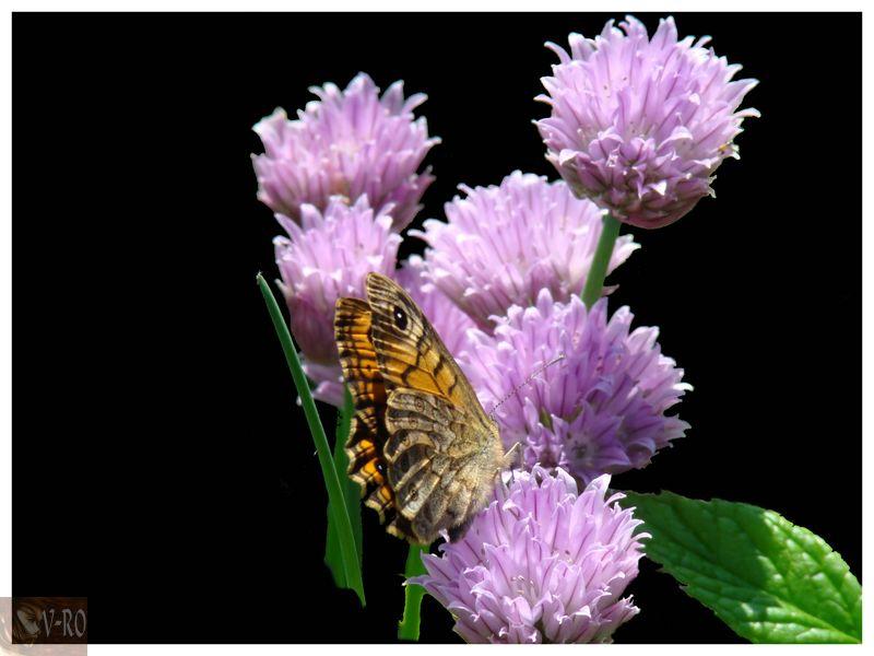 Papillons sur ciboulette dans ◤Photos 100627104202133816309294