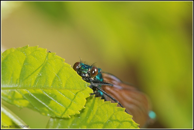 Caloptéryx (famille calopterygidae), photographie animalière par Pierre BOURGUIGNON, photographe animalier, Belgique