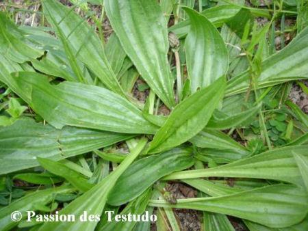 le plantain 1007300817251137786490661