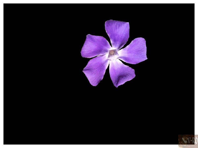 Fleur mauve qui pousse sauvage dans ◤Photos 100809091335133816538641