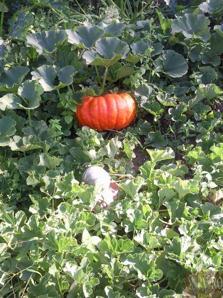 Potiron et melon 2010 dans ◤Photos 100812090356133816554037